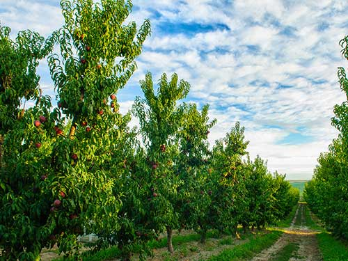 Stemilt Launches its Washington Organic Peach and Nectarine Harvest