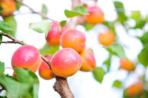 CMI Apricots