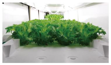 Panasonic Lettuce 3